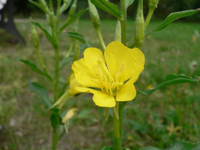 Желтые цветки до 10 см в поперечнике