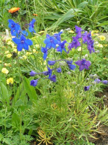 Цветки синие, фиолетовые или белые