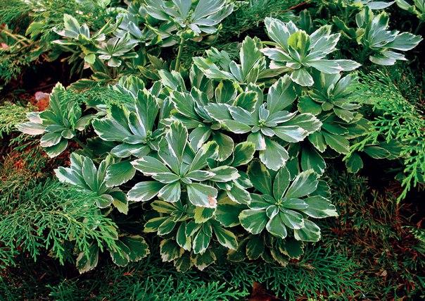 Листья зеленые с кремово-белым краем