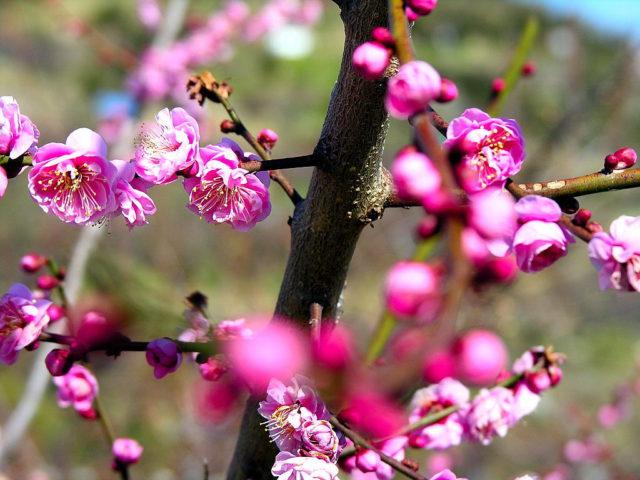 Обильные густо-розовые одиночные цветки