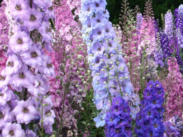 Цветки небесно-синего цвета