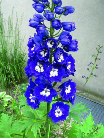 Цветки различных оттенков синего