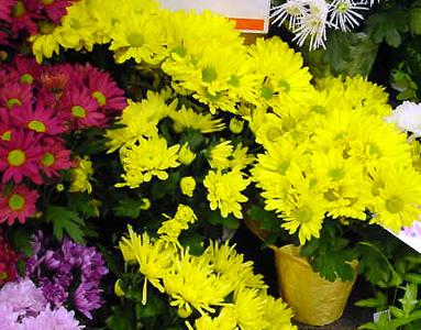 Желтые, помпонные хризантемы