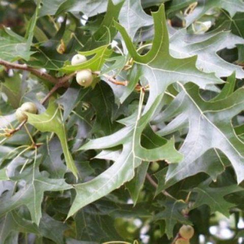 Листопадное дерево