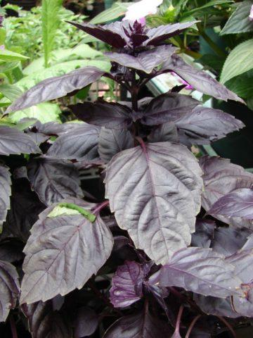 Сорт с темно-пурпурными блестящими листьями
