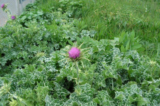 Двулетнее растение