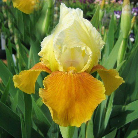 Бело-желто-коричневые цветки