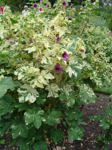 Мощное крупнолистное кустистое растение