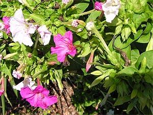 Ароматные цветки