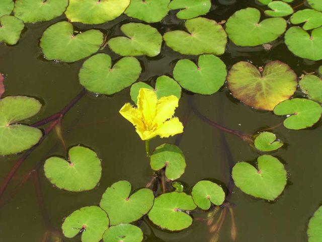2 вида Болотноцветника: Секреты выращивания