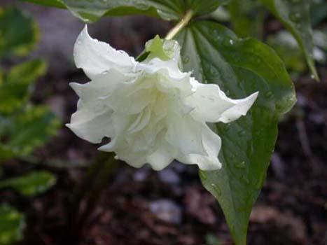 Эффектные чисто-белые цветки