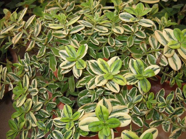 Зеленые листья покрыты кремовыми отметинами