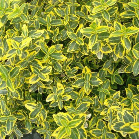 Зеленые листьями с кремовой каймой