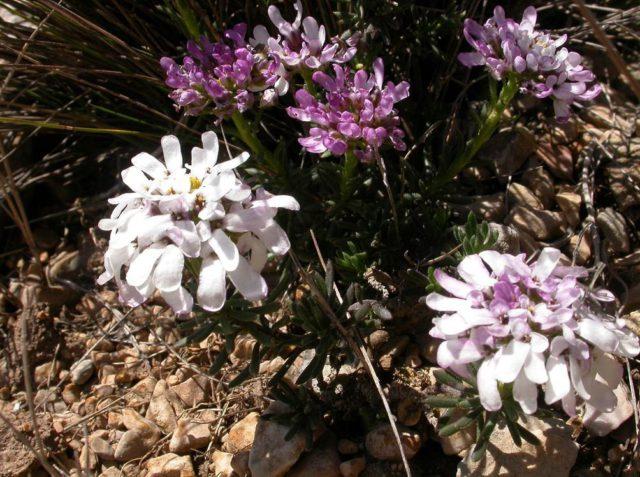 Цветки белые или сиреневые