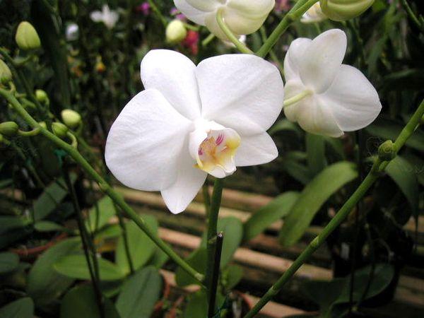 P. amabilis