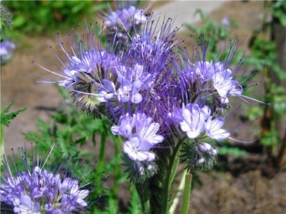 Окраска колокольчатых цветков от голубой до розовато-лиловой