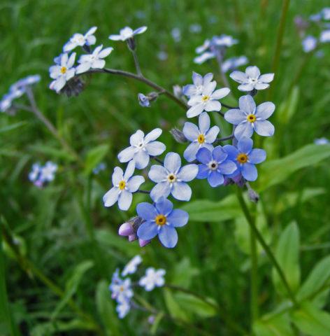 Небесно-голубые ароматные цветки