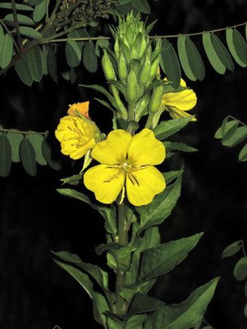 Ароматные желтые цветки