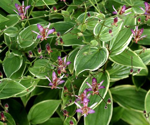 Красивые чашевидные беловато-пурпурные цветки