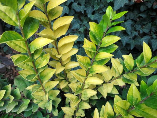 Широкие овальные ярко-золотые листья