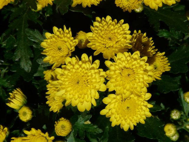 """Yellow John Wingfield"""