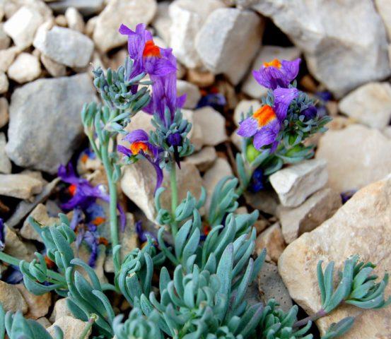 Плотные соцветия пурпурных или фиолетовых цветков