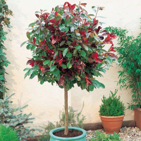 Вечнозеленый кустарник с гладкими бронзово-красными молодыми листьями