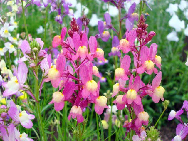 Цветки темно-пурпурные