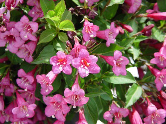 Гроздья розовых трубчатых цветков