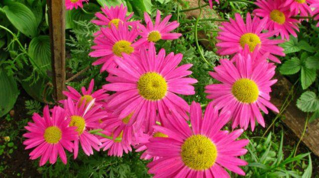 Карминово-розовые соцветия