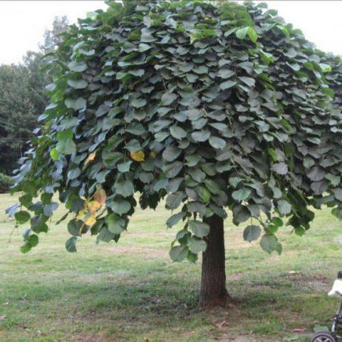 Дерево с компактной округлой кроной