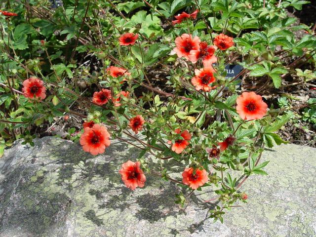 Цветки полумахровые