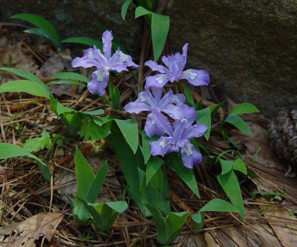 Цветки светло-лавандовые