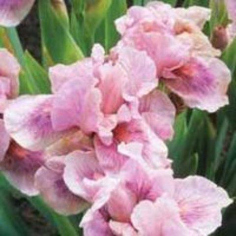 Цветки сиренево-розовые
