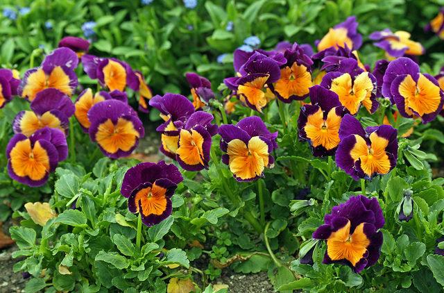 Ярко-пурпурные цветки с оранжевым центром