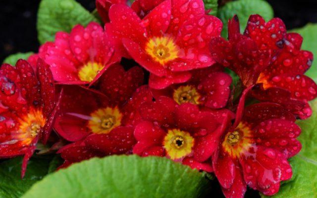 Густо-карминовые цветки
