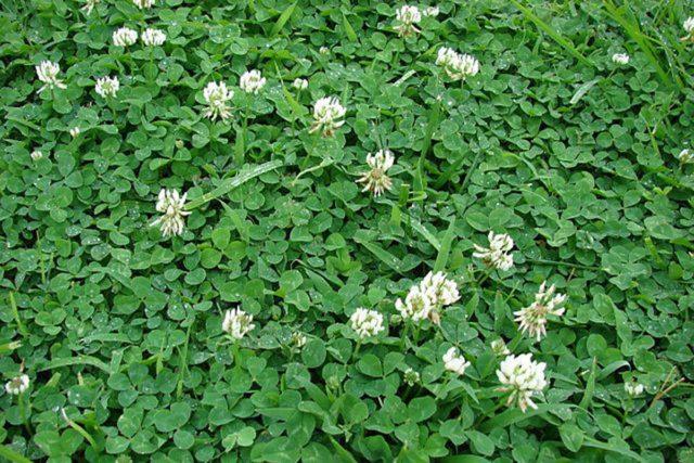 Душистые белые головчатые соцветия