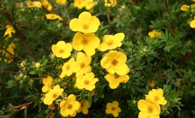Карликовый сорт с серебристыми листьями и крупными ярко-желтыми цветками