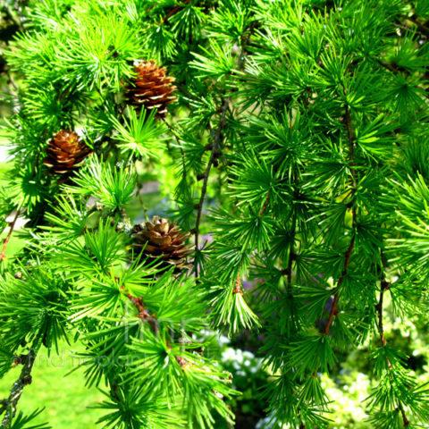 Салатово-зеленая хвоя