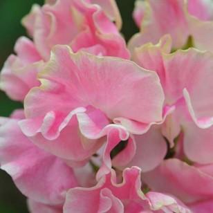 Цветки розовые с белым