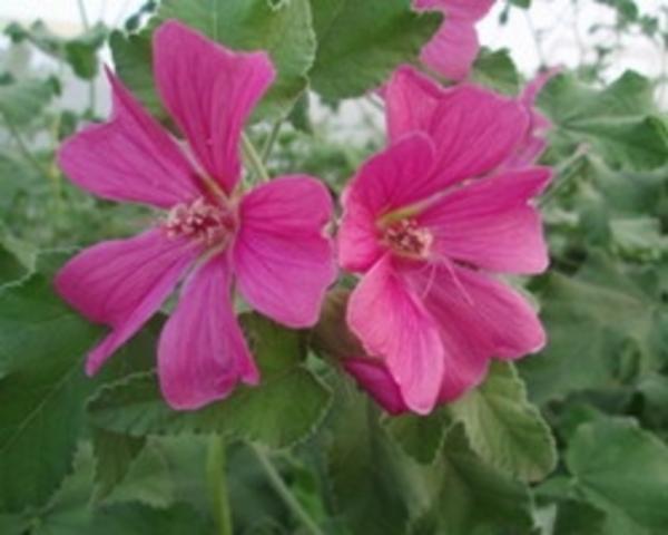 Цветки темно-розовые