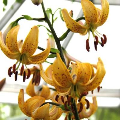 Золотисто-желтые с пурпурными пятнами чалмовидные цветки