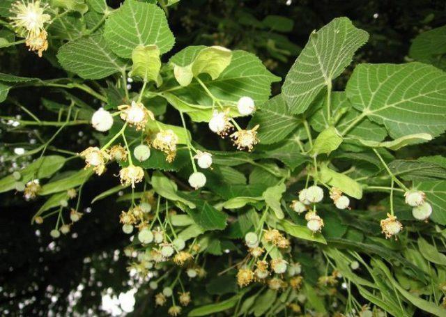 Ветки густо покрыты сердцевидными листьями