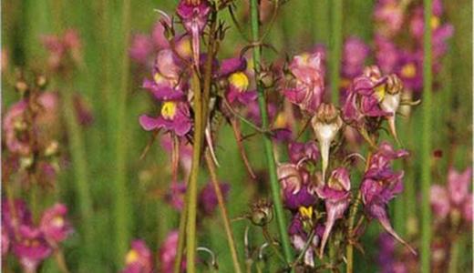 Цветки розово-карминовые