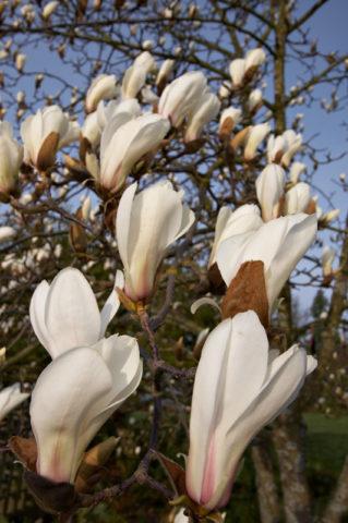 Чашевидные цветки