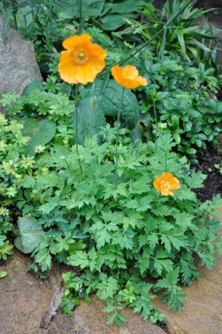 Цветки оранжевые