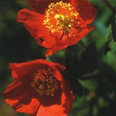Цветки ярко-красные