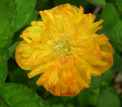 У сорта махровые оранжевые цветки