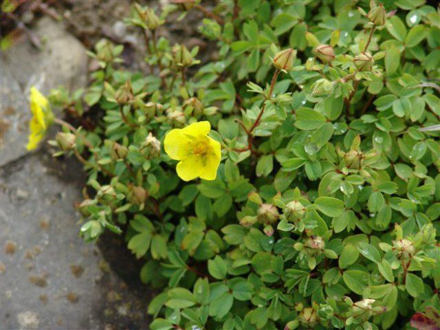 Ярко-желтые, в основном одиночные цветки