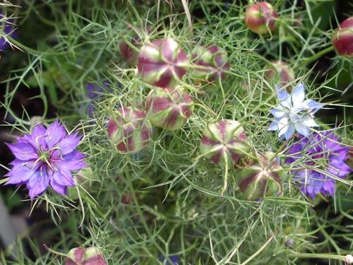 Сорт с небесно-голубыми цветками
